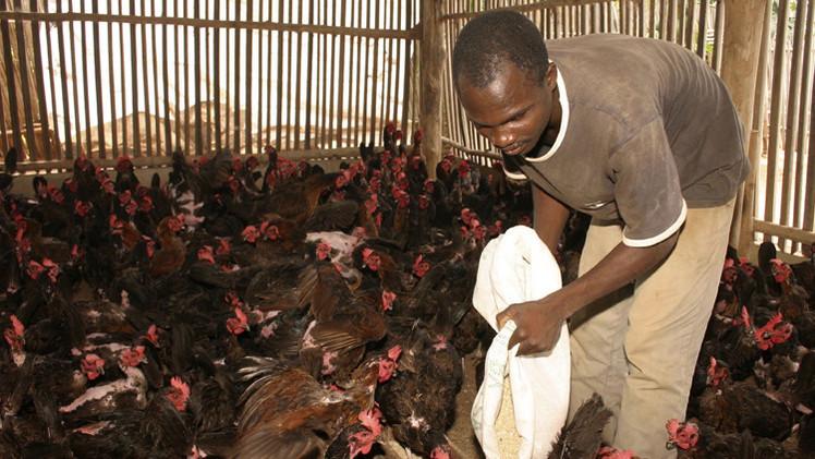إنفلونزا الطيور تتفشى في 7 ولايات نيجيرية