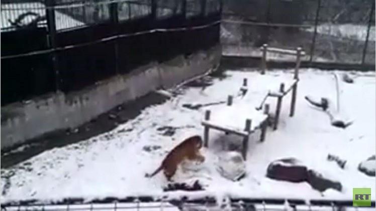 بالفيديو..نمرة من حديقة الحيوان  تتسلى بتشكيل كرات من الثلج