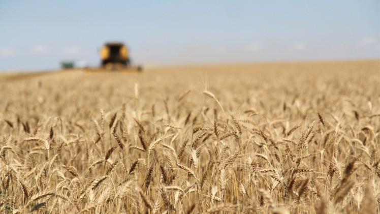 صعود أسعار القمح تزامنا مع إعلان مناقصات شراء كبيرة