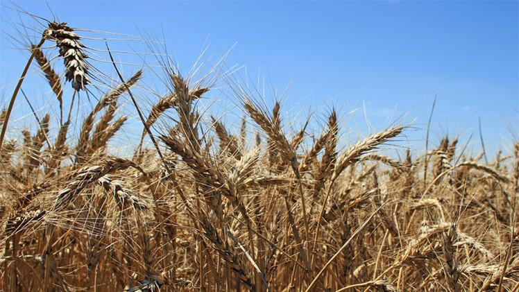 مصر تطمح لإعفائها من رسوم صادرات القمح الروسي