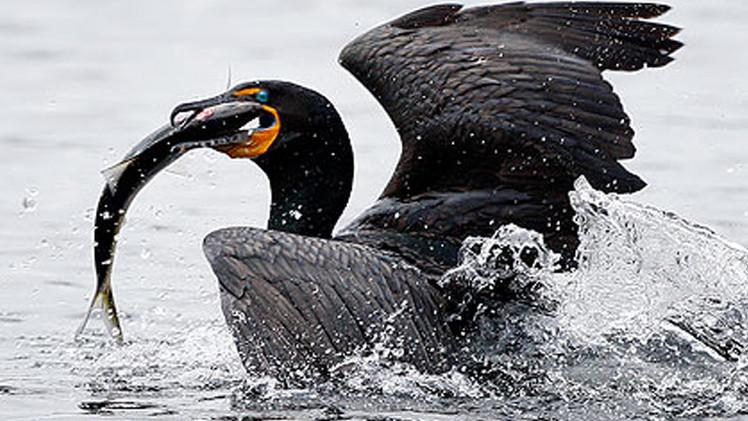 مجزرة لطيور الغاق لإنقاذ سمك السلمون