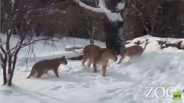 بالفيديو.. أشبال يستمتعون باللعب على الثلج لأول مرة