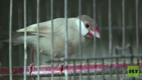 أحد أنواع طيور الزينة - باكستان