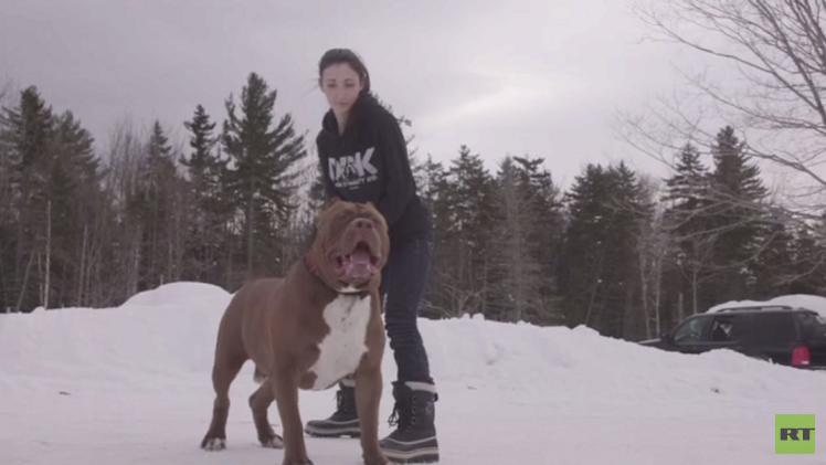بالفيديو..أكبر كلب من سلالة البيتبول ترير الأمريكي في العالم يلقب بـ