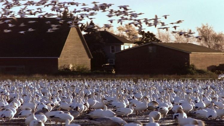 كوليرا الطيور تمطر ولاية