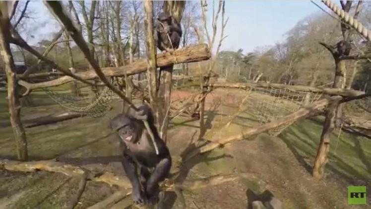 شمبانزي يسقط طائرة من دون طيار مستخدما غصن شجرة (فيديو)