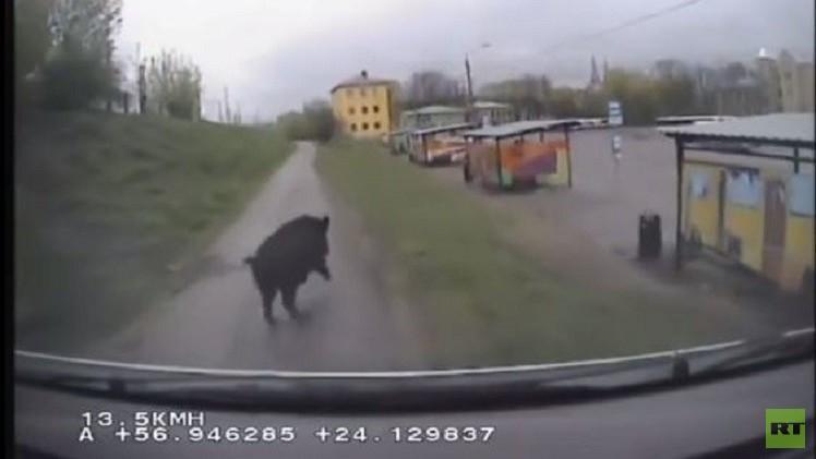 لاتفيا.. الشرطة تلاحق خنزيرا بريا شاردا في شوارع ريغا (فيديو)