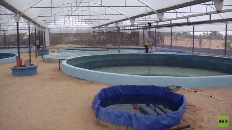 مزارع الجمبري في قطاع غزة