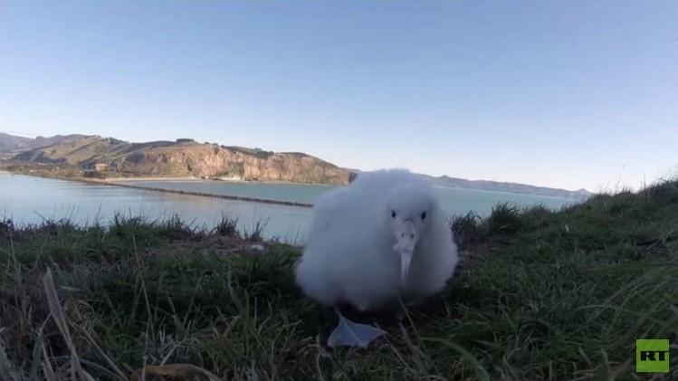 صور فريدة لفرخ طائر القطرس في نيوزيلندا (فيديو)