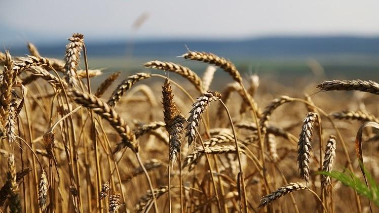 روسيا تخطط لزيادة صادراتها من الحبوب إلى مصر