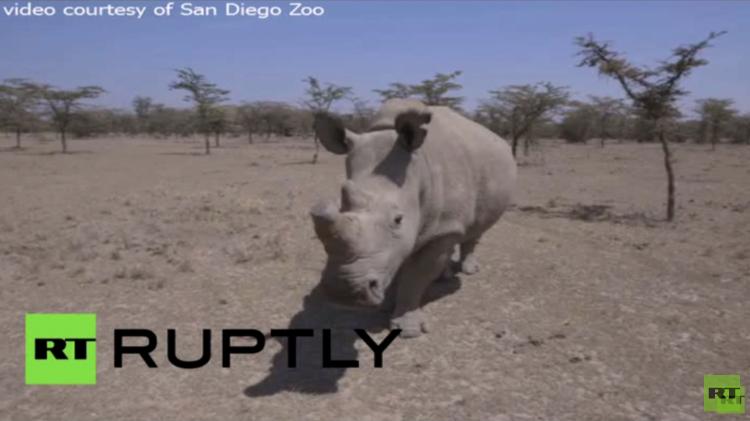 شاهد آخر ثلاث وحيد القرن الأبيض الشمالي على كوكب الأرض (فيديو)