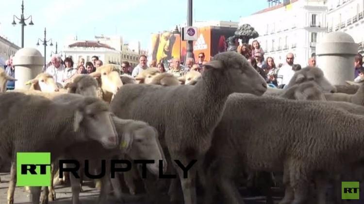 قطيع من الأغنام يجوب شوارع مدريد إحياء لتقليد قديم (فيديو)