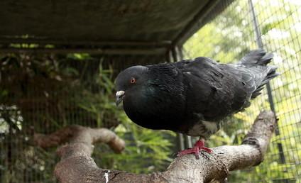 طيور الحمام تشخص الإصابة بمرض السرطان كما الأطباء