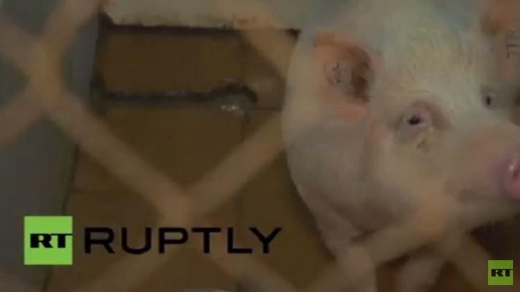 زرع صمام للأبهر مصنوع في روسيا في جسم خنزير (فيديو)