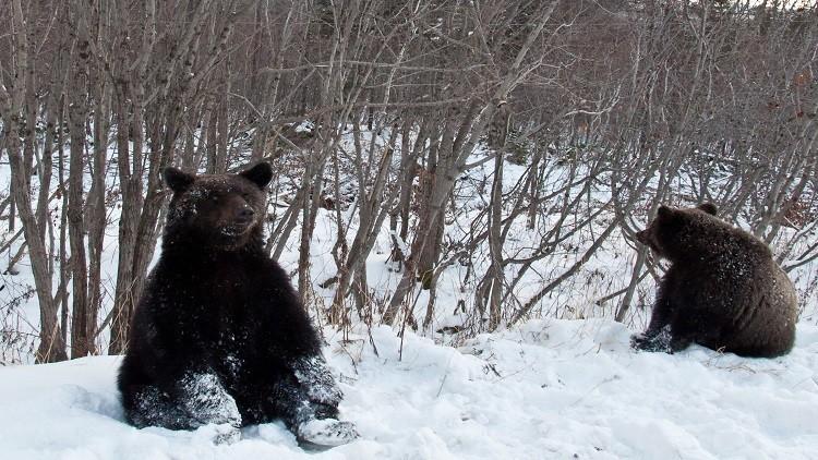 تغير المناخ.. الدببة تستفيق مبكرا من سباتها غرب روسيا