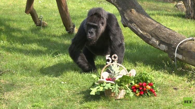 أنثى غوريلا تحتفل بعيد ميلادها الـ59 (فيديو)