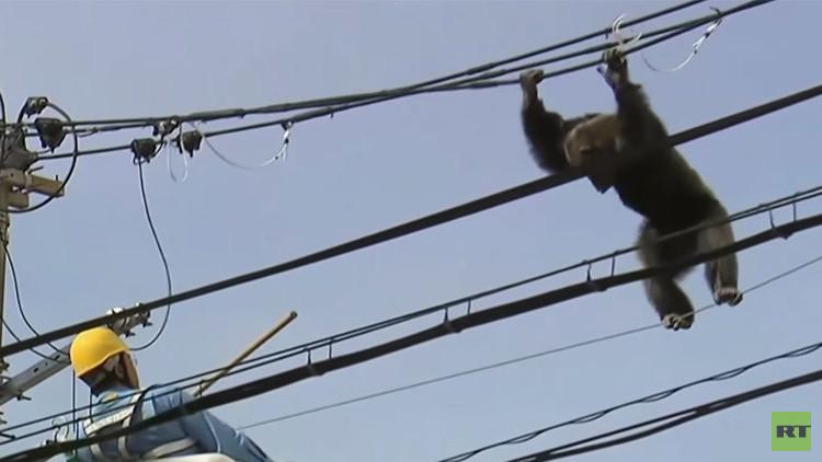 بالفيديو .. مطاردة رهيبة  لشمبانزي هارب من حديقة الحيوان