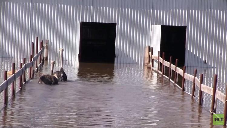 فيديو من روسيا.. إنقاذ 11 نعامة إثر فيضانات غامرة