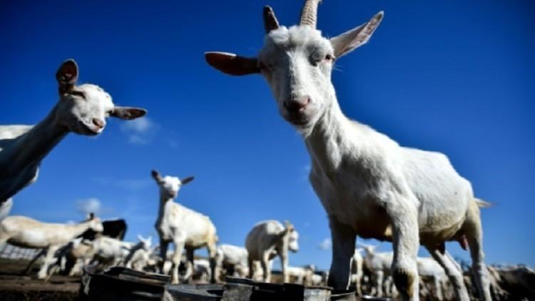 البنتاغون يربي الماعز