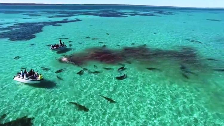 بالفيديو .. أكثر من 70 سمكة قرش تفترس حوتا قبالة سواحل أستراليا