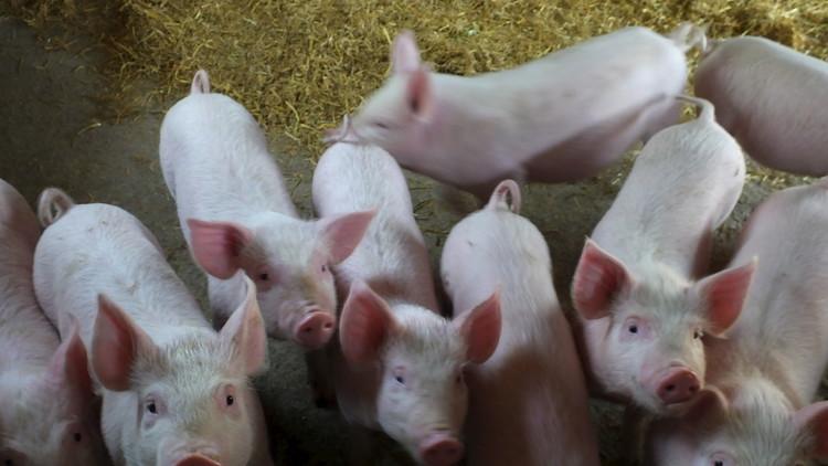 الخنازير حاضنة بيولوجية لزراعة أعضاء البشر!