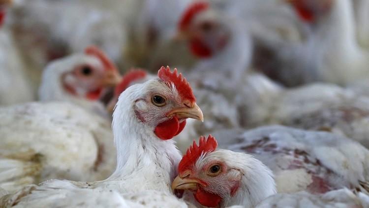 بيل غيتس ينصح الفقراء المعدمين بتربية الدجاج