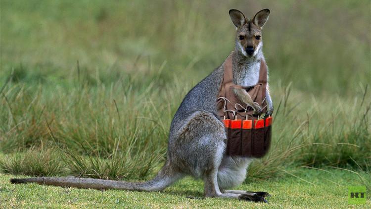 مراهق أسترالي يعترف بتخطيطه لهجوم إرهابي باستخدام كنغر مفخخ