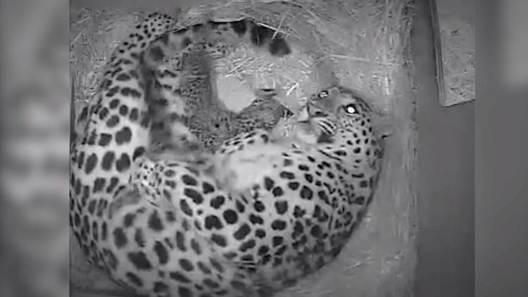 حديقة حيوان بريطانية تشهد ولادة 2 من فهود آمور