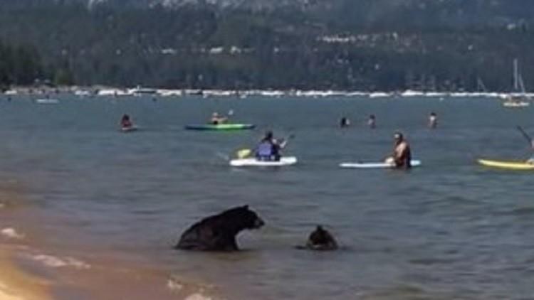 دبة تسبح مع صغيريها في بحيرة أمريكية!