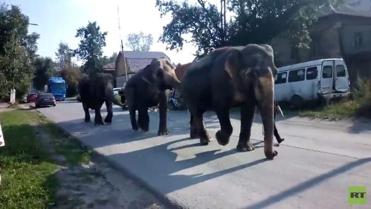 فيلة في شوارع مدينة زلاتو-أوست الروسية (فيديو)