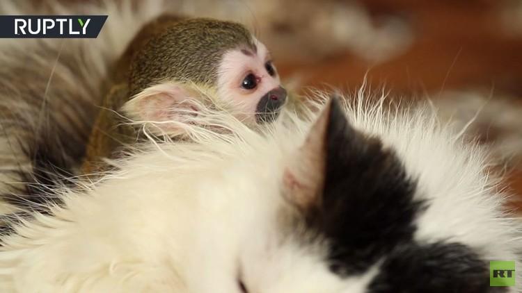 قطة تتبنى قردا صغيرا تخلى عنه أبواه!