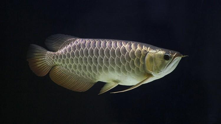 أول سمكة نانو في العالم تحمل الدواء داخل جسم الانسان
