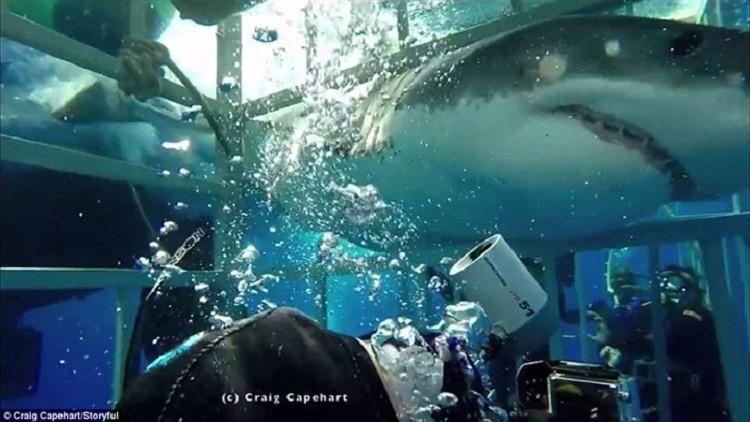 فيديو يحبس الانفاس لقرش أبيض يقتحم قفصا حديديا لغواص