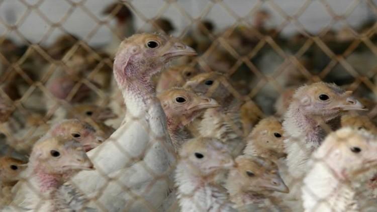 تفشي فيروس شديد العدوى من انفلونزا الطيور في مزرعة بإسرائيل