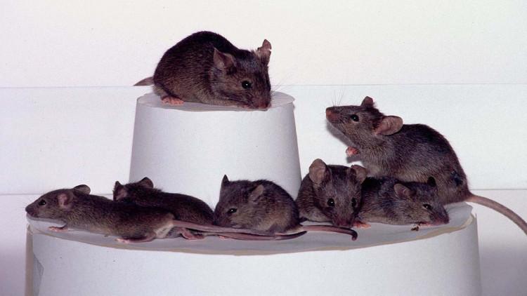 فئران أفريقية للكشف عن الألغام والتفتيش