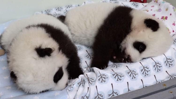 حديقة حيوان أتلانتا الأمريكية تطلق تصـويتا لتسـمية توأم من دب الباندا