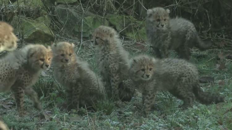 ظهور ستة صغار الفهد أمام الجمهور في حديقة حيوانات هولندية