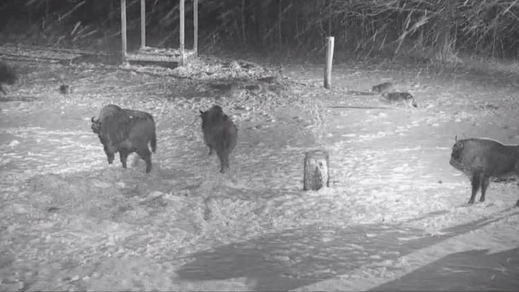 مواجهة بين ذئاب وقطيع من الثيران