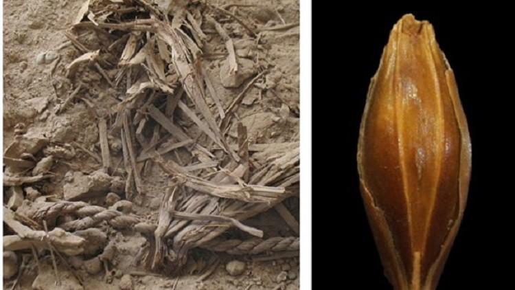 العثور على بذور قمح عمرها 3 آلاف عام
