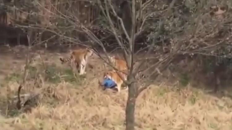 بالفيديو.. نمور تفترس رجلا في الصين