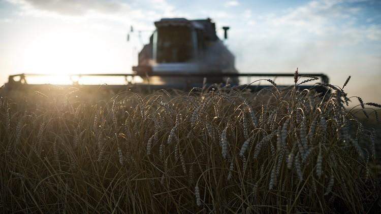 مصر تتجه لزراعة القمح بالتبريد