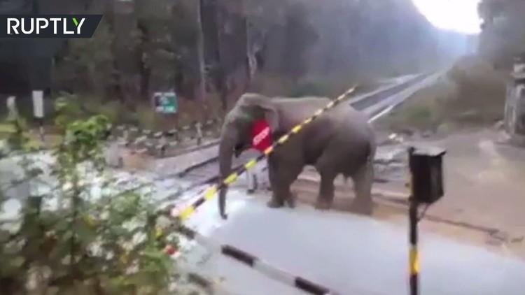 فيل ينطلق كالبلدوزر ويزيل حواجز سكة الحديد