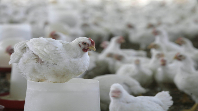 انفلونزا الطيور..إعدام 50 ألف دجاجة في مصر