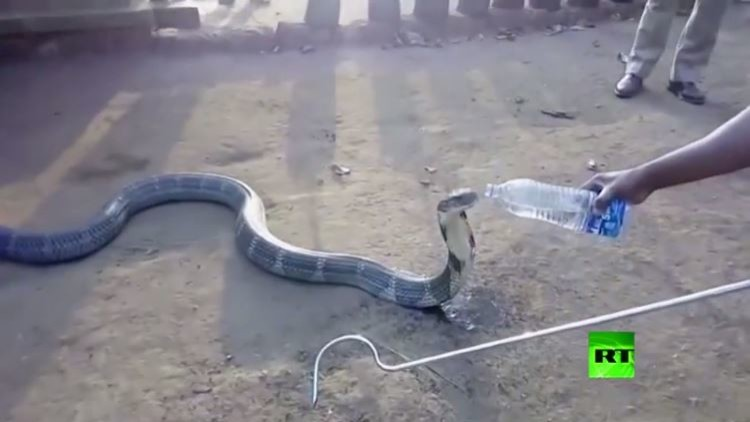 حينما تعطش الكوبرا!