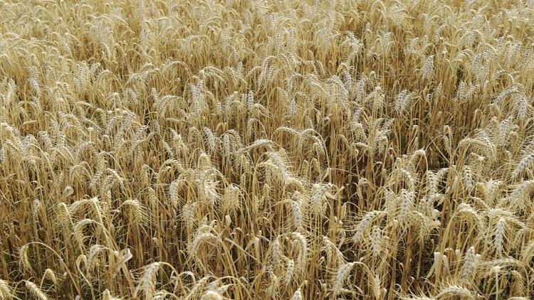 وفد روسي في تركيا لبحث قضية الحبوب