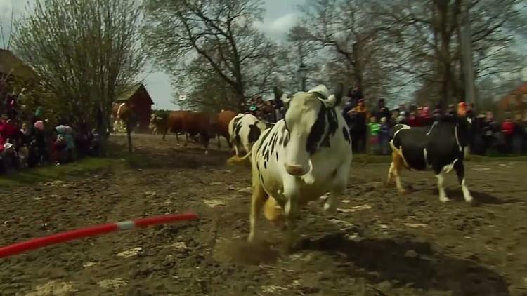 أبقار سويدية تحتفل بحلول الربيع