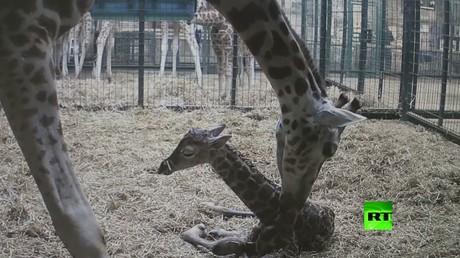 زرافة تضع مولودها في حديقة حيوان في بريطانيا