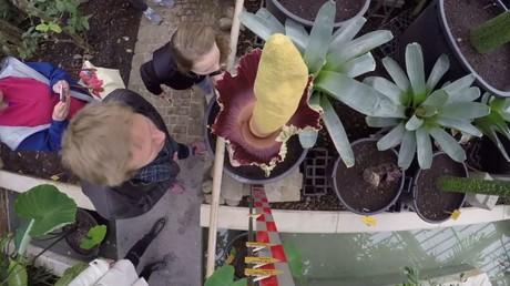 حديقة نباتية في بلجيكا تجتذب الزوار مشاهدة أسوأ زهرة رائحة فـي العالم