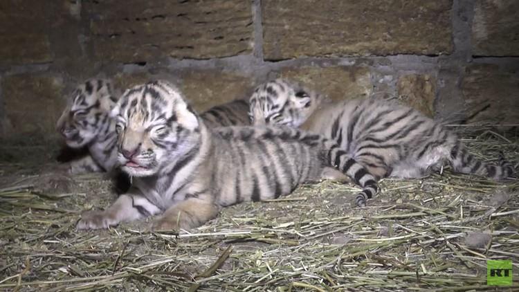 حديقة الحيوانات بالقرم الروسية تعرض 4 نمور سيبيرية صغيرة