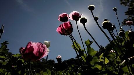 أزهار الخشخاش التي تستخدم لصنع الهيروين